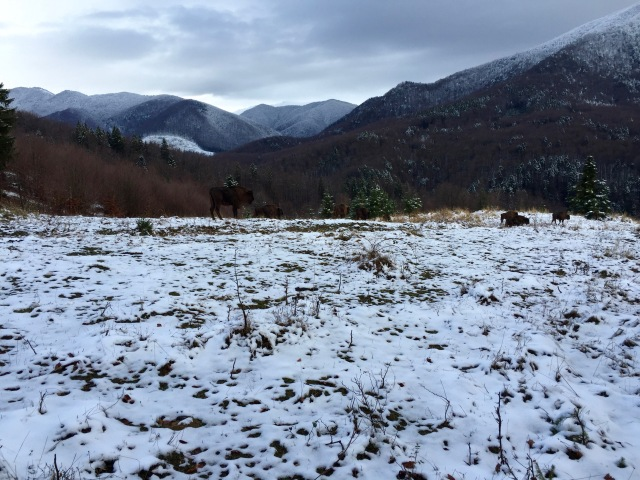 wisent in mountains