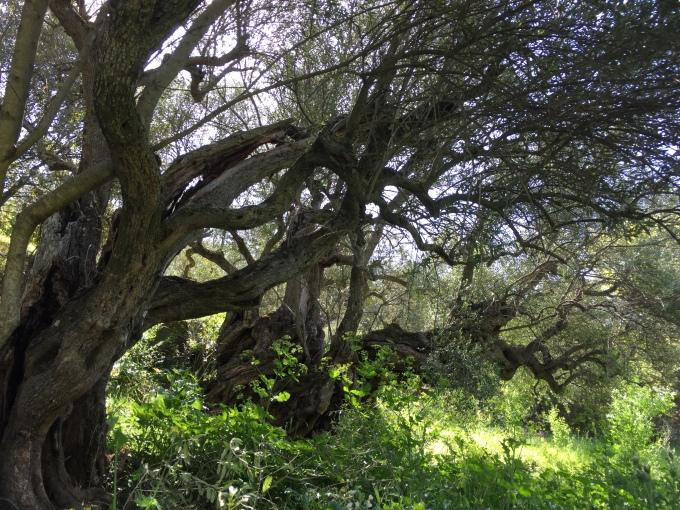 Ribeira do Mosteiro olive grove